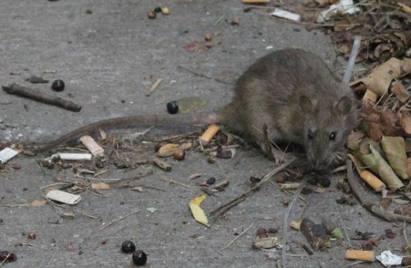 nueba yol queja ratas Nueba Yol con récord de quejas por ratas