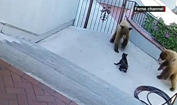 perrito osos Perrito se enfrenta a dos osos y gana [VIDEO]