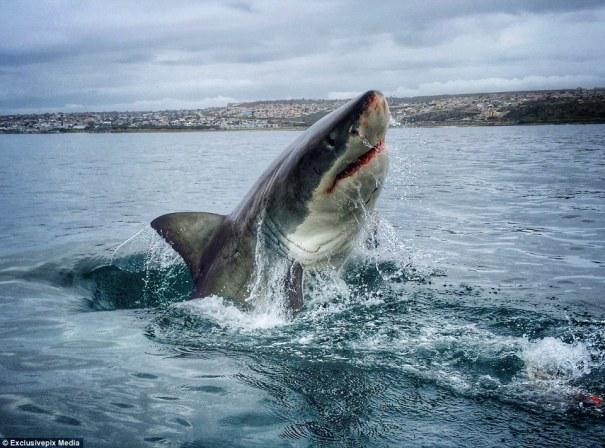 tiburon blanco GoPro: Tiburones blancos en Sudáfrica