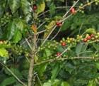cafe Hoy es Día Nacional del Café