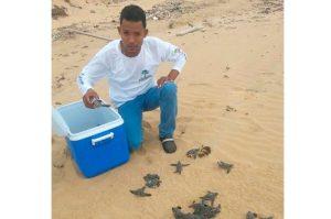 tortugas Liberan 76 tortugas en una playa de La Altagracia