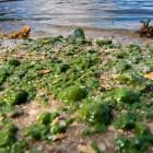 ale Algas marinas fuñendo la principal playa de La Romana