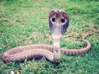 serpiente cobra Juidero en China por fuga de serpientes cobra