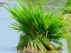 campo arroz Ministro: cosecha de arroz no sufrió daños por las lluvias