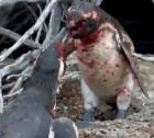 ping Le pegan cuerno a un pingüino y mira lo que pasa
