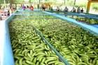 """banano Lluvias """"ahogaron"""" 30% del banano en RD"""