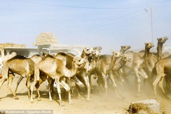 camellos 2 Irán empezará a ponerle placas a los camellos