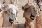 camellos Irán empezará a ponerle placas a los camellos
