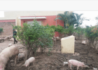 montecristi2 Biblioteca de Montecristi convertida en un lugar para criar cerdos