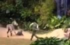 cebra Video – Cebra se quilla y arrastra al cuidador