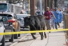 toro queens NY: Reperpero por toro suelto en Queens