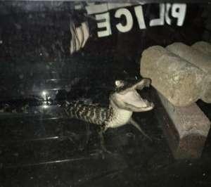 coco Foto   Narco estaba criando cocodrilo en su apartamento en NY