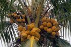 cocotero Hallan cadáver arriba de una mata de coco en San Cristóbal