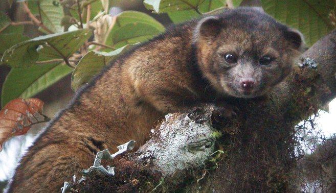 olinguito Descubren en Suramérica animal que parece oso de peluche [Ciencia]