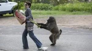 resizer 300x168 Monos roban comida y asaltan casas en Sudáfrica [Queseto!]