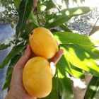 mango 300x300 Jartura de mango: 5 maneras de disfrutarlo