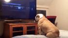 Bulldog viral 300x169 Esta bulldog quillá se vuelve viral con este video