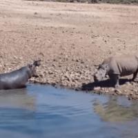 Video - Hipopótamo se emburuja con rinoceronte y lo mata