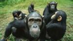 chimpances 150x84 Revelan vaina curiosa de los chimpancés (Estudio)