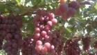 Perú exportará más de 100 toneladas de uva a RD