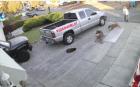 Perros EEUU 300x187 Video   Dueña no puede con sus pitbulls y le entran a un gato
