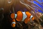 Pez payaso 300x200 El error científico de la película Buscando a Nemo