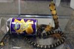 cobra 150x100 Tipo traficaba cobras reales en latas de papas fritas