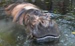 hipopotamo 150x91 Fallece la hipopótamo más vieja en cautiverio