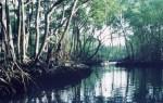 manglares 150x95 Hoy: Día internacional de los manglares