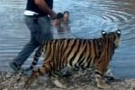 tigre 150x101 Er juidero! – Saca a pasear su tigre mascota y se suelta