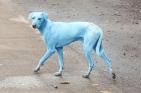 India 300x198 La razón por la que los perros se volvieron azules en la India