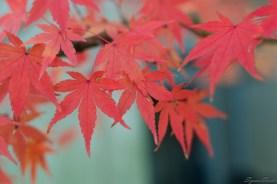 居民门口的红叶