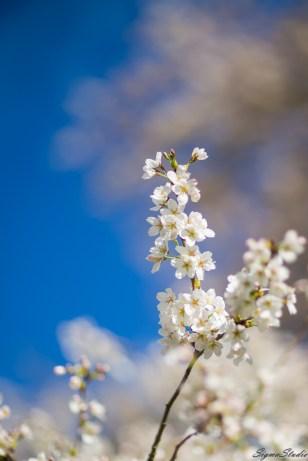 UW 的樱花