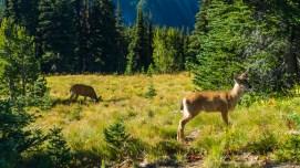 清晨出来觅食的小鹿