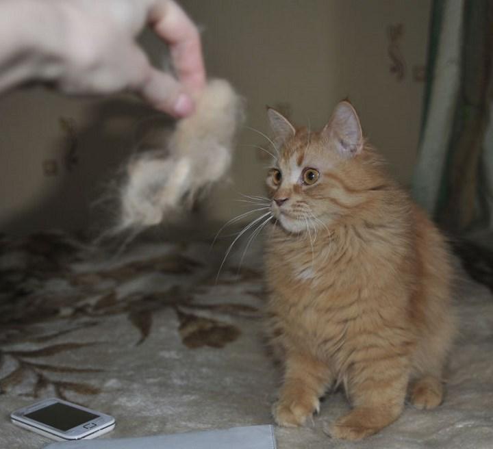 gato miniatura