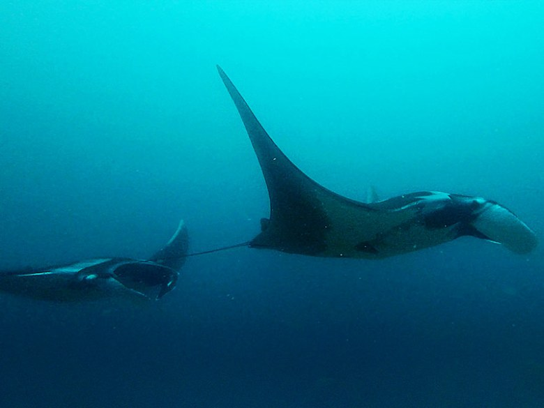 Things to do diving with mantas in Raja Ampat