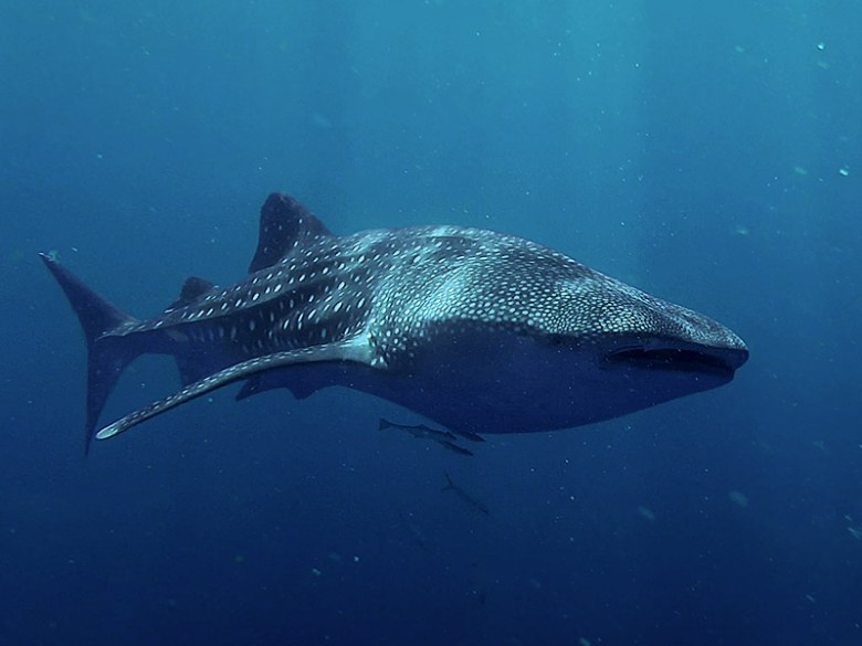 wild whale sharks snorkelling