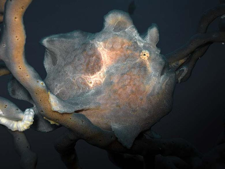 Padre Burgos Pier Frogfish night dive Philippines