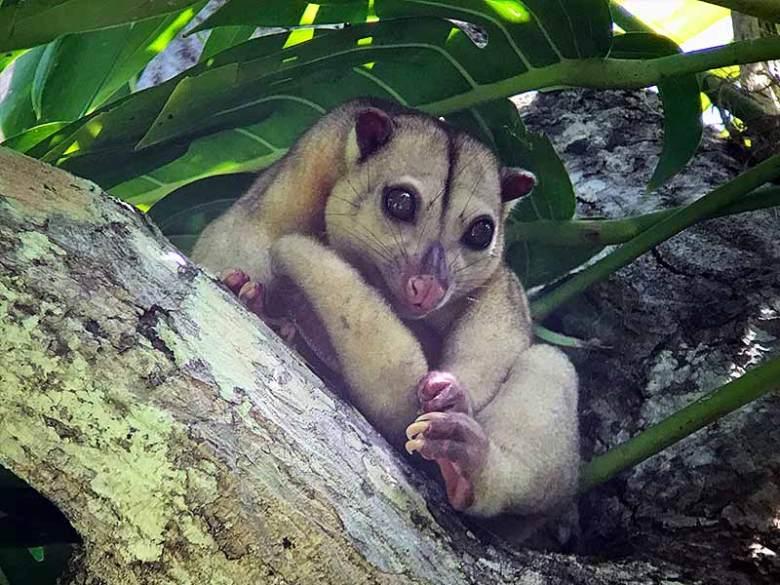 Cuscus in tree West Papua Marsupial