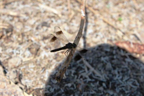 dragonfly-lunkulu-bayimba-festival