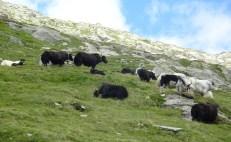 Yak-Herde mit Muttertieren