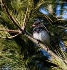 Dark Eyed Junco Surfing the Evergreen