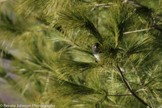 Dark EYed Junco Peekaboo