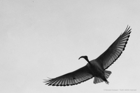 Ibis Eremita. Parco Faunistico La Torbiera, 2015 - Nikon D810, 400mm (85-400mm ƒ4.5-5.6) 1/1250 ƒ/36 ISO 3200