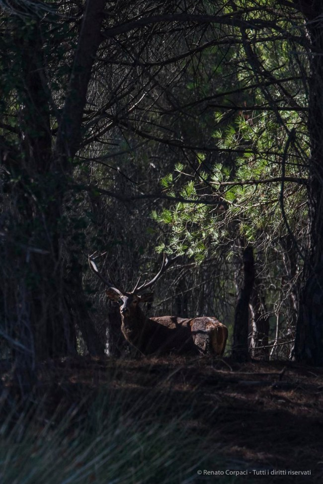 "King of the forest. A red deer in the bush in Doñana. Nikon D750, 390 mm (80-400 mm ƒ/4.5-5.6) 1/1600"" ƒ/6.3 ISO 400"