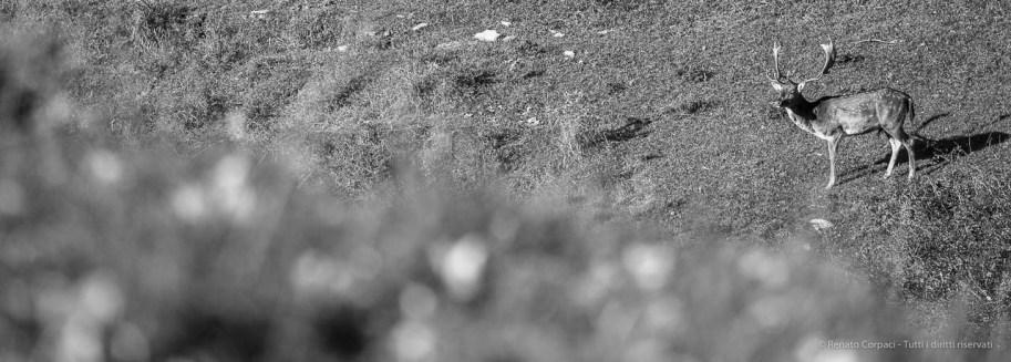 """Buck fallow deer. Foreste Casentinesi. Nikon D750, 400 mm (80-400.0 mm ƒ/4.5-5.6) 1/1000"""" ƒ/8 ISO 800"""