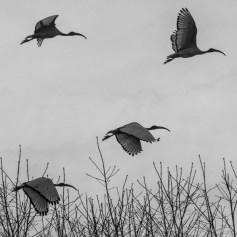 Ibis Eremita. Parco Faunistico La Torbiera, 2015 - Nikon D810, 390mm (85-400mm ƒ4.5-5.6) 1/1250 ƒ/32 ISO 3200