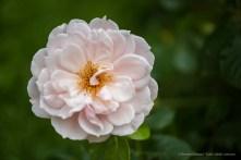 English Rose by David Austin Roses. Nikpn D810, 105 mm (105.0 mm ƒ/2.8) 1/500 ƒ/3 ISO 64