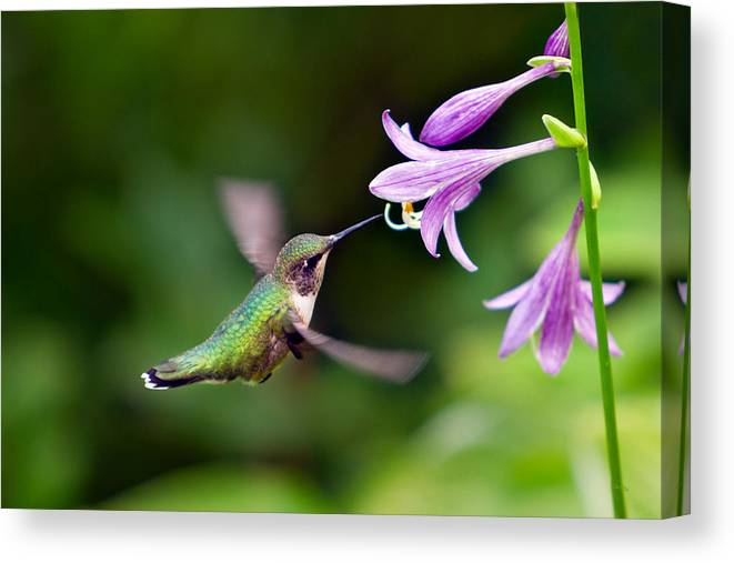hummingbird on hosta flower