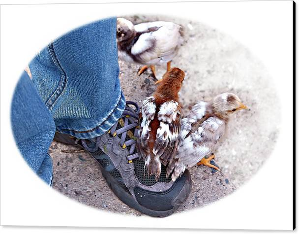 Chicken Canvas Print featuring the photograph Friends by Tatiana Travelways